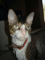 Jack the Cornish Rex